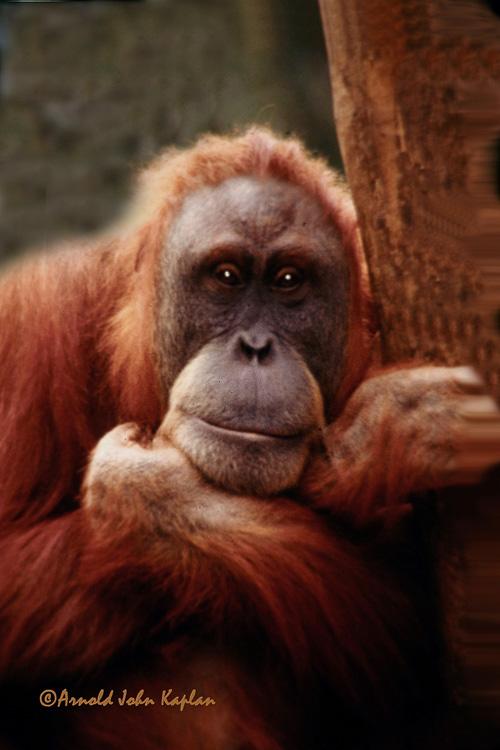 Orangutang---Baby--2-300dpi.jpg