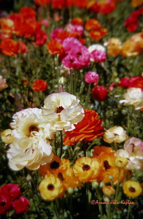 Field-Of-Flowers.jpg