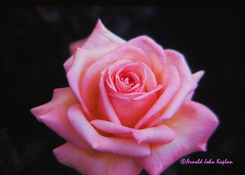 Pink-Rose--1.jpg