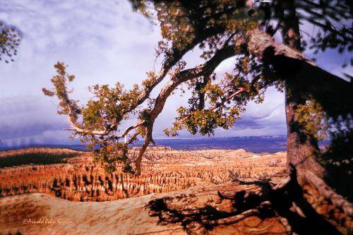 Bryce-CanyonOld-Tree-Scenic--25--300dpi.jpg
